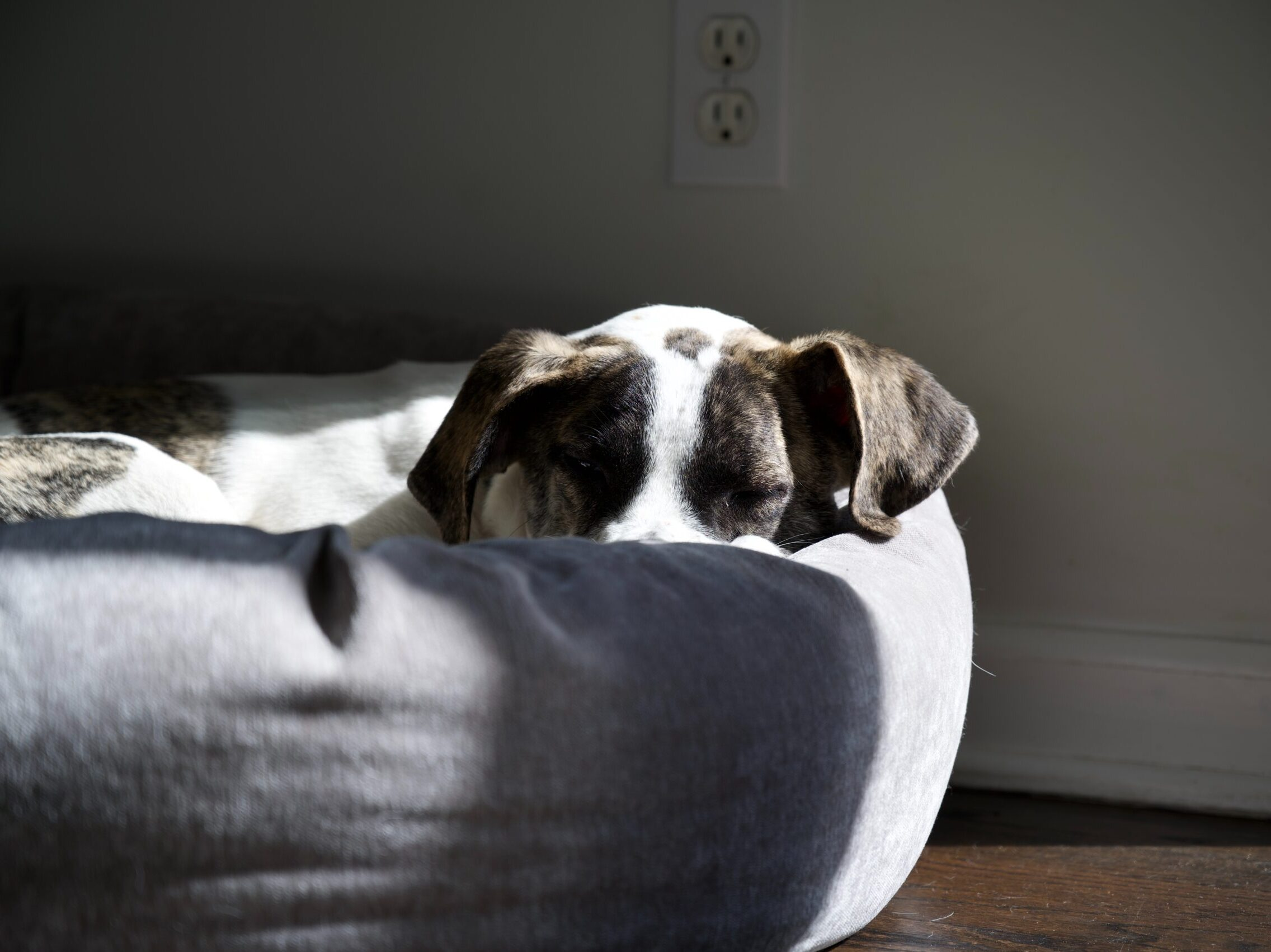 brown and white short coated dog lying on white textile