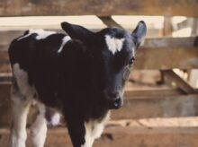 black and white cow calf
