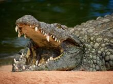 crocodile on body of water during daytime