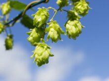 green flower buds in tilt shift lens